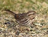Song Sparrow c